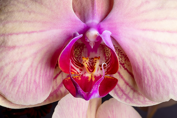 Orchid Full Frontal